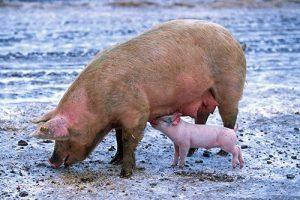 anestesia rumiantes cerdos peces