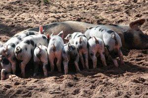 aspectos cerdos